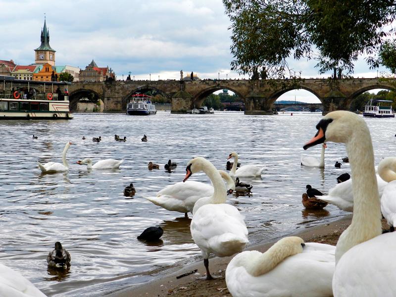 Cisnes da Na Kampě em Praga