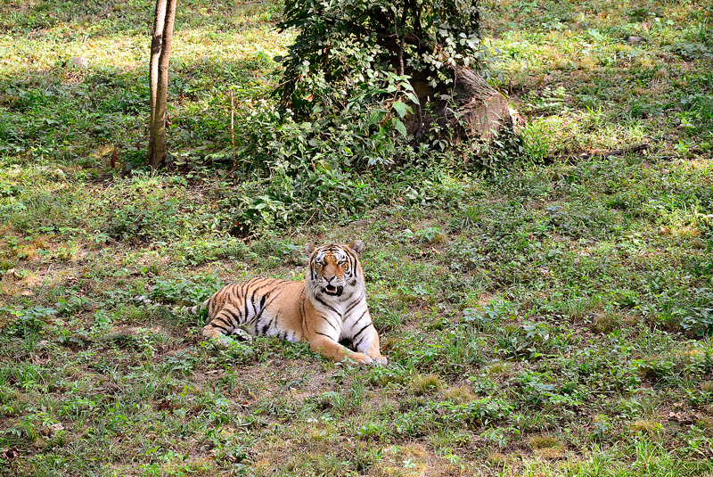 tigre no bronx zoo de new york
