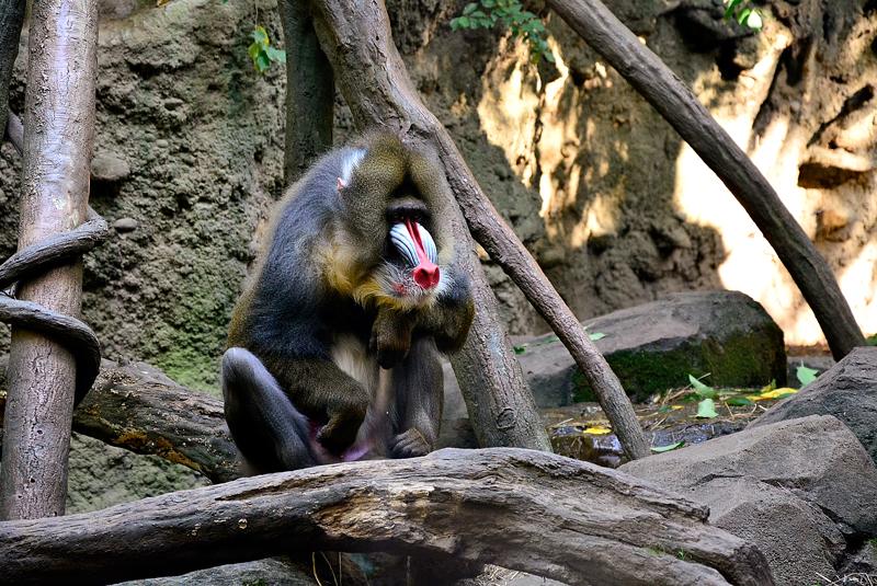 babuíno no bronx zoo de new york