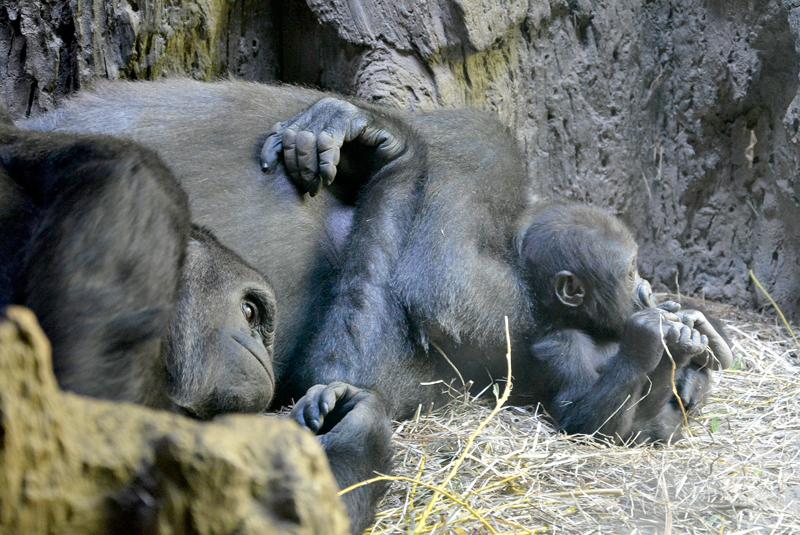 gorilas no bronx zoo de new york