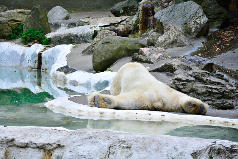 urso polar no bronx zoo de new york