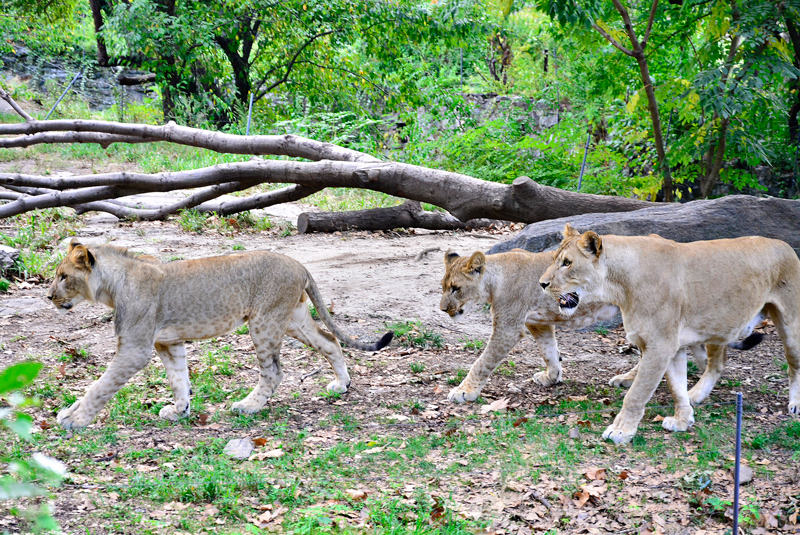 leoas no bronx zoo de new york