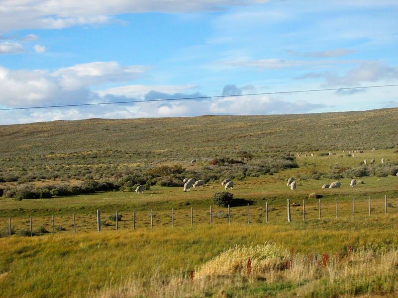 Criação de carneiros no distrito de Magalhães no Chile