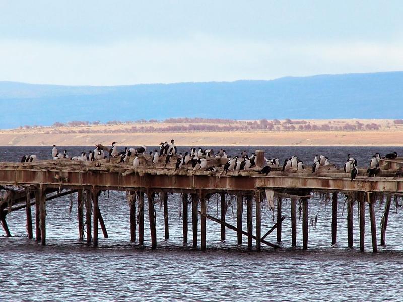cormoranes em Punta Arenas no Chile