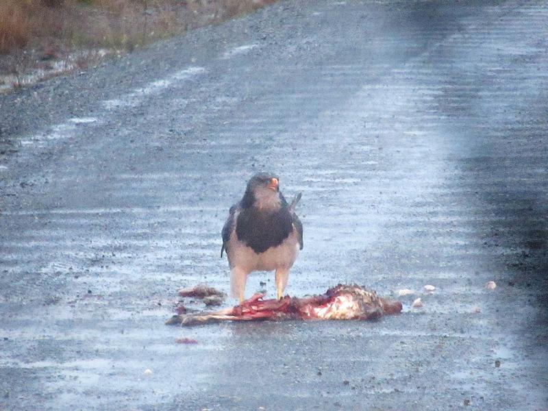 águia se alimentando no Parque Nacional Torres del Paine