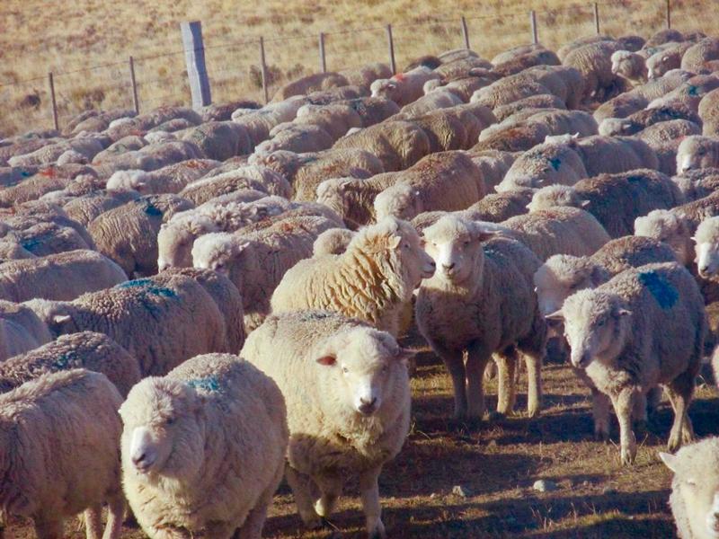 ovelhas em ushuaia na argentina