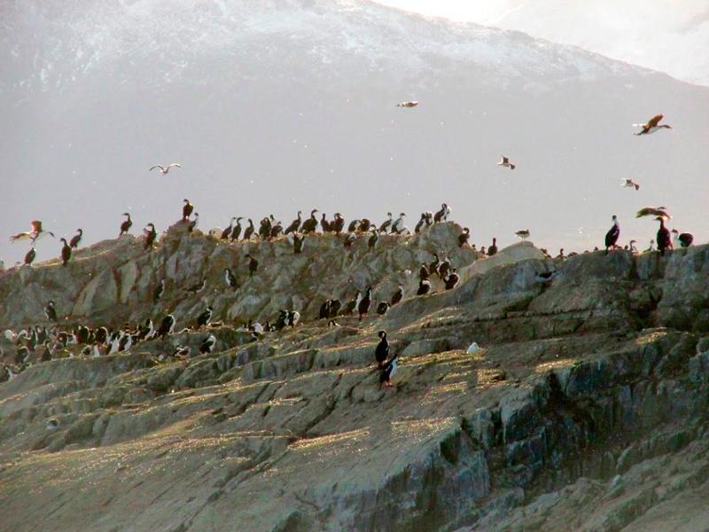 Cormoranes  vistos no passeio pelo canal beagle em ushuaia na argentina