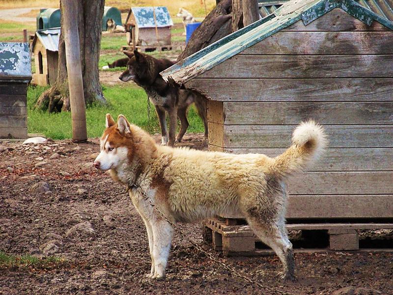 canil de huskies em Ushuaia na Argentina