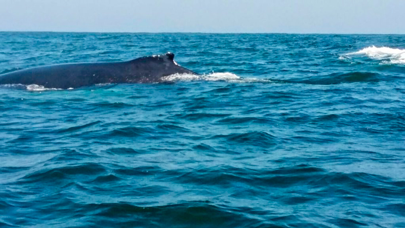 Avistamento de baleia na Reserva Nacional Pinguino de Humboldt em Punta Choros no Chile