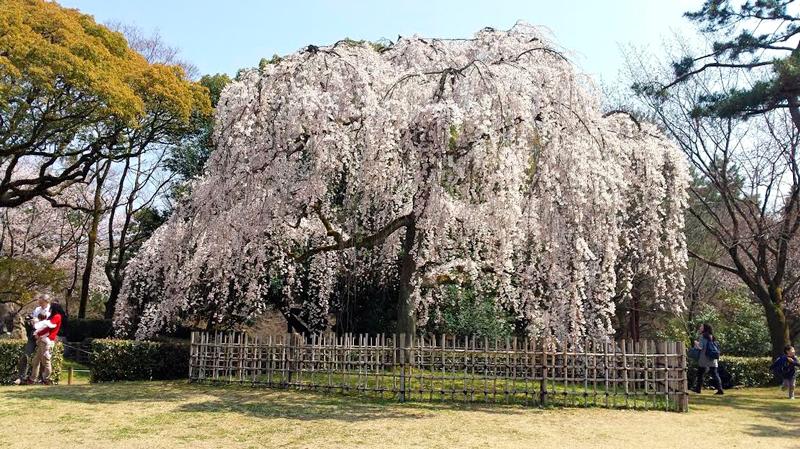 Cerejeira em Kyoto, Quioto, Japão