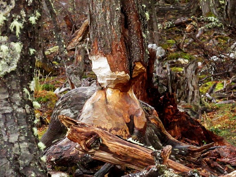 Árvore roída pelos castores vista na trilha para Laguna Esmeralda em Ushuaia na Argentina