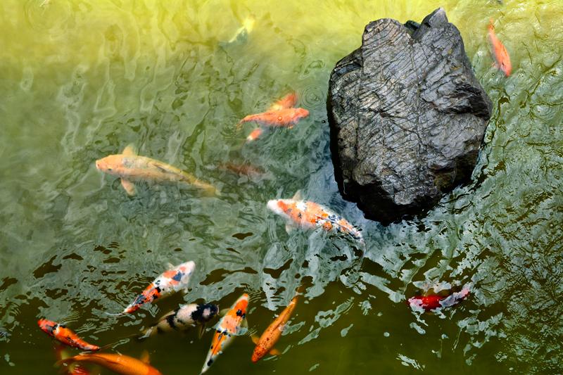 carpas do pavilhão japonês do aprque do ibirapuera
