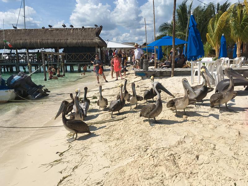 Pelicanos da Isla Mujeres em Cancun Mexico