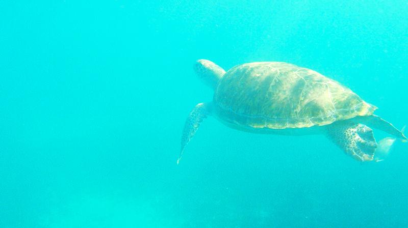 Tartaruga nadando em Tulum no México
