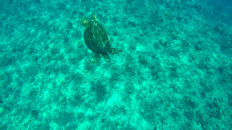 Tartaruga vista na Excursão dos golfinhos