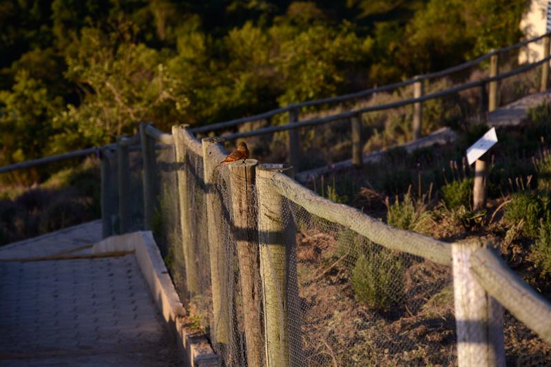 Pássaro no Lavandário de Cunha no fim de tarde