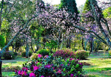 Parque do Carmo, Festival das Cerejeiras, São Paulo, Brasil
